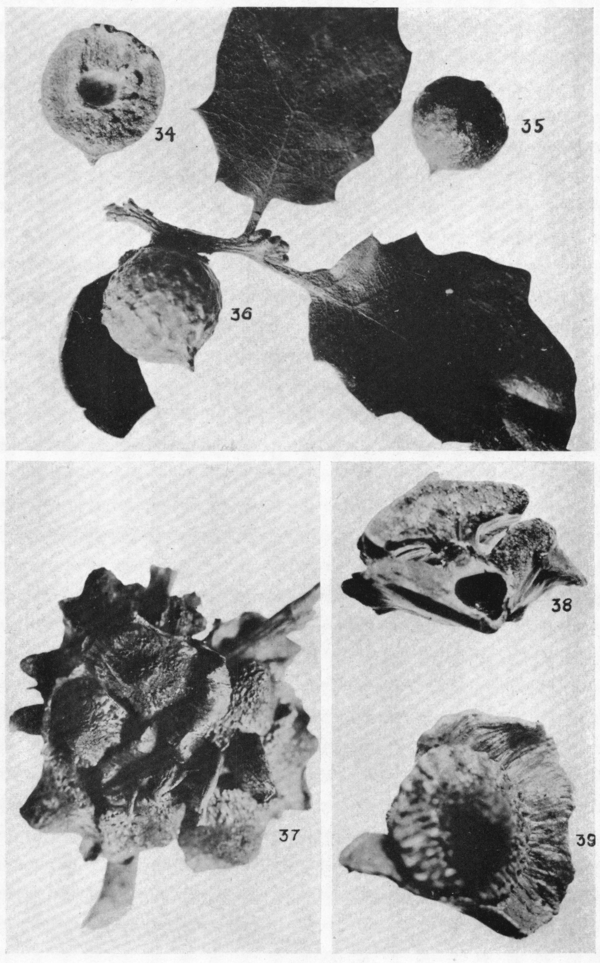 Bulletin of AMNH Vol. XLII, Plate XXVI.png