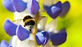 Bumble bee lupin.jpg
