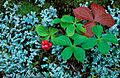 Bunchberry bush.jpg