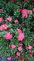 Bunga Asoka.jpg