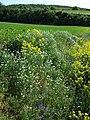 Bunias orientalis + Adonis aestivalis + Anthemis austriaca + Fumaria officinalis + Consolida regalis sl5.jpg
