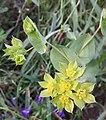 Bupleurum rotundifolium sl6.jpg