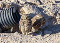Burrowing Owls (24927859341).jpg
