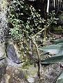 Bursera fagaroides, Fata Morgana Greenhouse.jpg