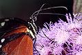 Butterfly Feeding Close-up (16866293801).jpg