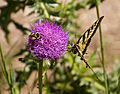 Butterfly and Bee (3679950230).jpg