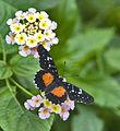 Butterfly on flower (5526662427).jpg