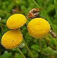 Buttons (Cotula sericea) (32915189196).jpg