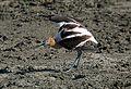 CALIFORNIA - BIRDS of San Luis Obispo Co (558282374).jpg