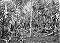 COLLECTIE TROPENMUSEUM Pandanbomen in de Preanger West-Java TMnr 10011442.jpg