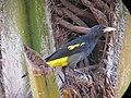 Cacicus cela Arrendajo culiamarillo Yellow-rumped Cacique (16140532180).jpg