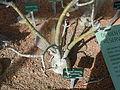 Cactees-Jardin-Plantes 06 Adenium-obesum.JPG