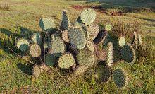 HIGOS CHUMBOS SIN ESPINAS O.ficus indica 25 semillas FRUTOS VERDES