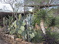 Cactus Garden at River Pierce Foundation office in San Ygnacio, TX IMG 3135.JPG