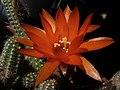 Cactus cacahuete - Feliz Quinta Flower !! (7257670306).jpg