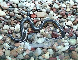 definition of caecilian