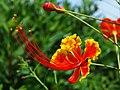 Caesalpinia pulcherrima - രാജമല്ലി പൂവും മൊട്ടും.JPG