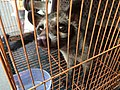 Caged civet for sale in Jatinegara Market.jpg