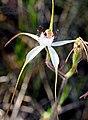 Caladenia longicauda rigidula 01 - cropped.jpg