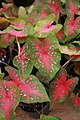 Caladium bicolor Red Flash 2zz.jpg