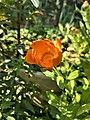 Calendula arvensis 095850.jpg