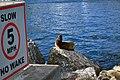 California sea lion (Zalophus californianus) Catalina baby by speed sign.jpg