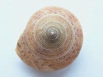 Calliostoma aequisculptum 003.jpg