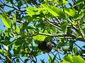 Calodendrum capense, droë vrug, a, Uniegeboutuine.jpg