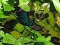 Calopteryx IMG 5508.jpg