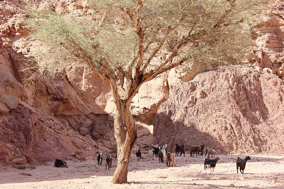 Camel Nuweibaa 00 (23)