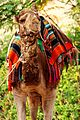 Camel in Jericho, Palestine.jpg
