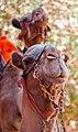 Camel in Petra5.jpg