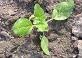 Camelina alyssum 2 Jungpflanze IMG 1117 Wohlers.JPG