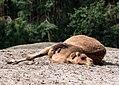Camelus dromedarius - Serengeti-Park Hodenhagen 2017 02.jpg