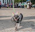Caminata por los perros y animales Maracaibo 2012 (30).jpg
