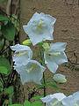 Campanula latifolia (white selection).JPG