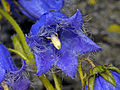 Campanulaceae - Campanula barbata-001.jpg