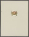 Cancer acaste - - Print - Iconographia Zoologica - Special Collections University of Amsterdam - UBAINV0274 094 14 0051.tif