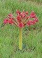 Candelabra Flower (Brunsvigia natalensis) (31823361647).jpg