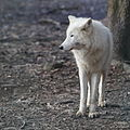 Canis lupus arctos IMG 9103.jpg