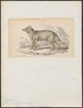 Canis magellanicus - 1833-1866 - Print - Iconographia Zoologica - Special Collections University of Amsterdam - UBA01 IZ22200323.tif