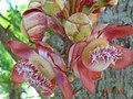 Cannonballtree flowers.JPG