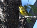 Cape May Warbler (23847635128).jpg