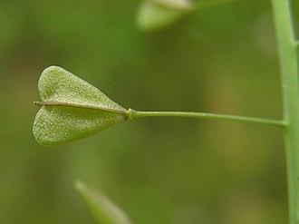 wikipedia. commons. thumb. capsella bursa pastoris beentree. jpg.