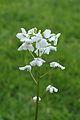 Cardamine trifolia. Waardevolle wintergroene bodembedekker 01.JPG