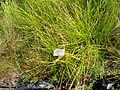 Carex bohemica - Botanical Garden, University of Frankfurt - DSC02737.JPG