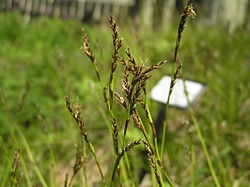 Carex pediformis2.JPG