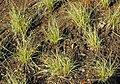 CarexalbulaFC.jpg