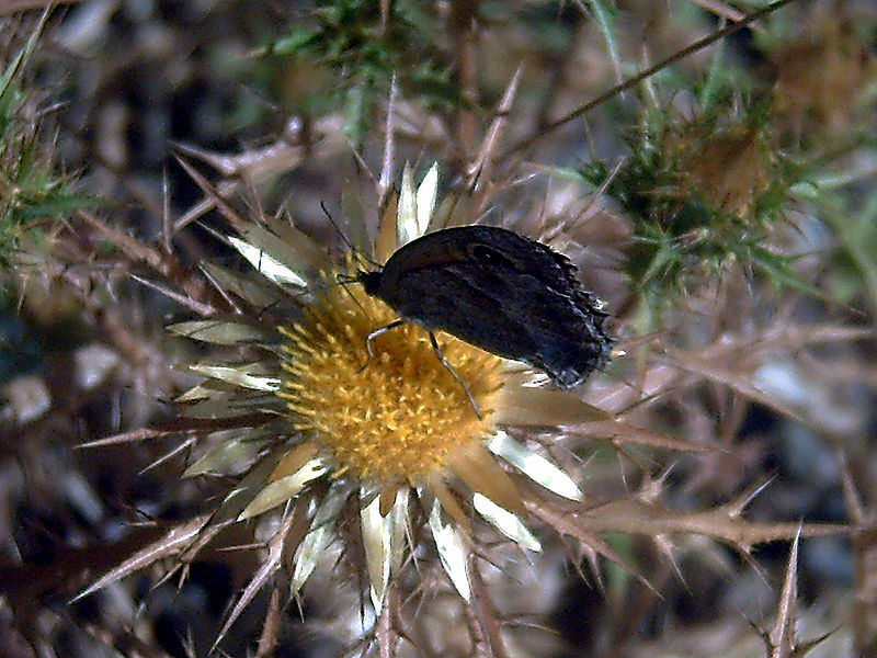 File:Carlina racemosa Polinator SierraMadrona.jpg