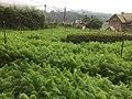Carrot Plantation.jpg